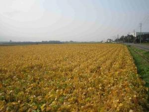 大豆の紅葉H21