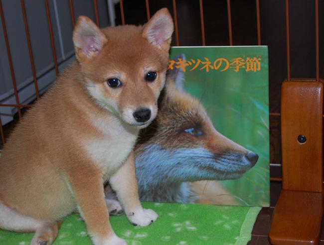 20080510_きつね