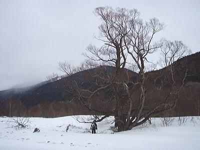 ケショウヤナギの木
