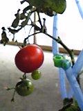 jyobotanのトマト頑張る。
