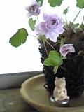 八重咲き梅花カラマツ。可愛いんです♪