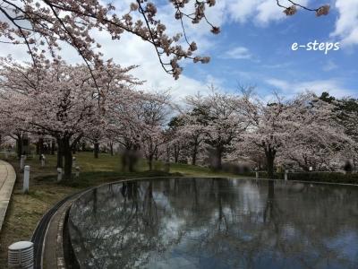 hakusan_sakura2