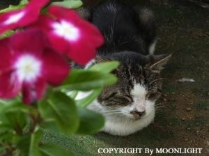 日々草&とっちゃん猫