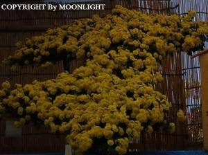 湯島天神菊祭り
