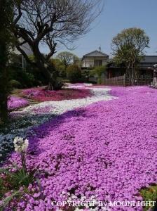 郭沫若記念館 芝桜