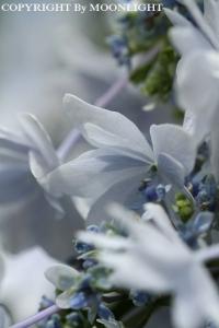 堀切あじさい通り 紫陽花