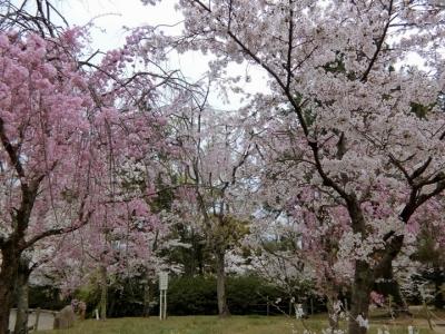 京都の桜 2017 円山公園