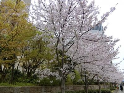 リーガロイヤルホテル大阪の桜 2017