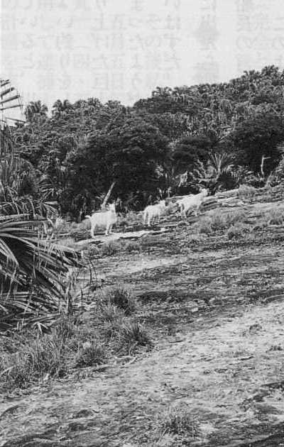 野生のヤギ(魚釣島)仲間均著「尖閣諸島−尖閣上陸」45頁