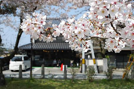 NHKの桜