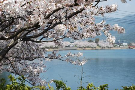 河添の桜並木