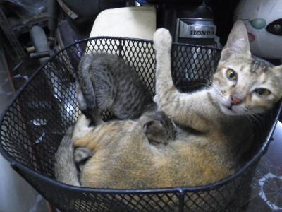 ママのミルクを吸う子猫たち