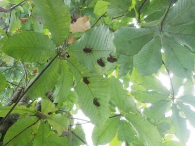 朴葉の木とセミの抜け殻