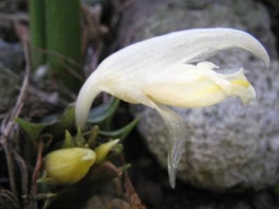 みょうがの花<br />
