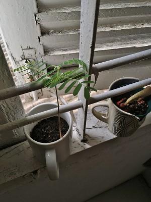 タマリンド栽培