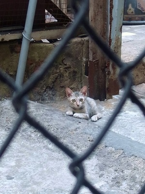 ベトナムの猫