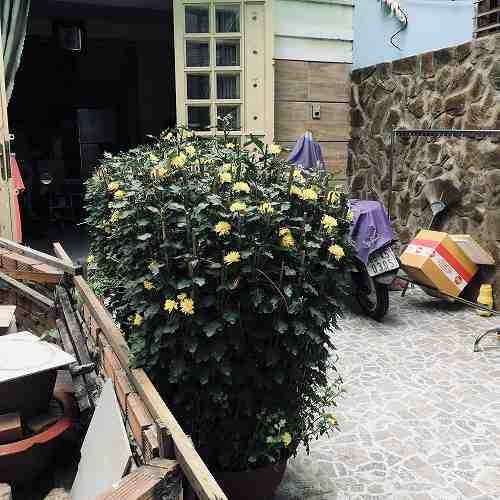 サイゴンの菊の花