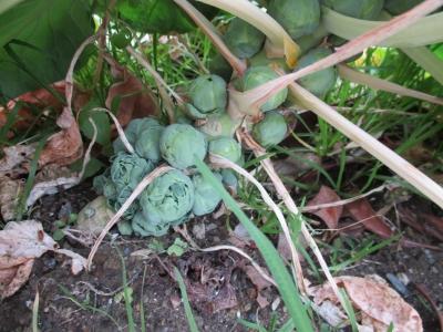 芽キャベツ 実の付き方
