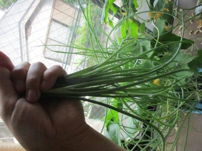 小ねぎの収穫