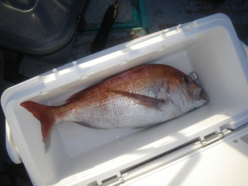 真鯛3.7kg