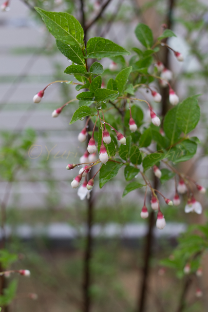 20150519雨の庭-16.jpg