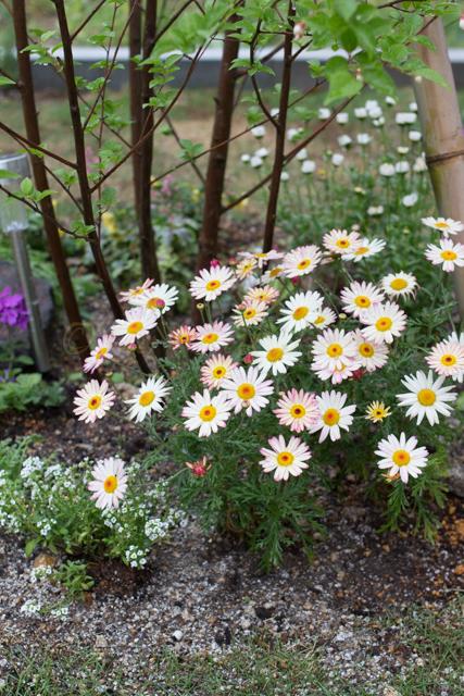 20150519雨の庭-15.jpg