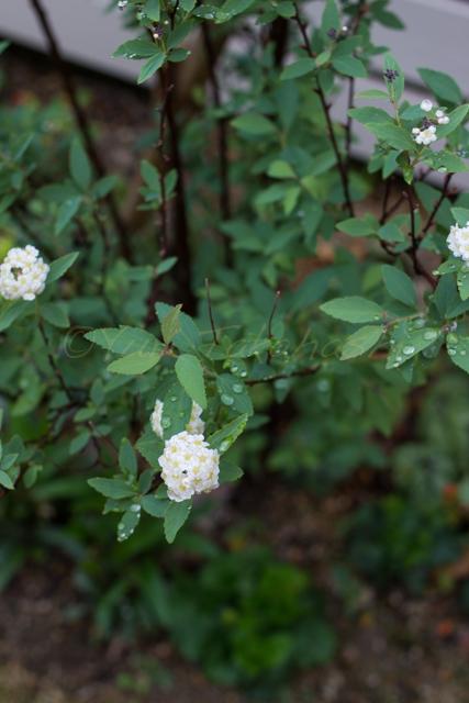 20150519雨の庭-11.jpg