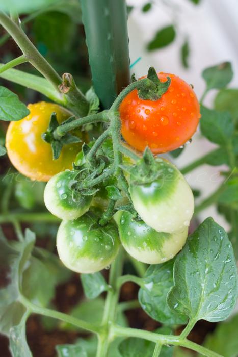 20150627収穫-2.jpg