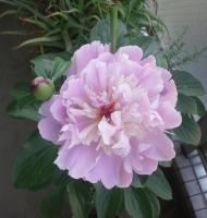 芍薬開花(満開)
