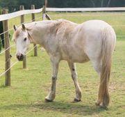 若い馬、ウマ