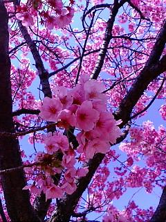 早春の陽光桜(ようこうざくら)