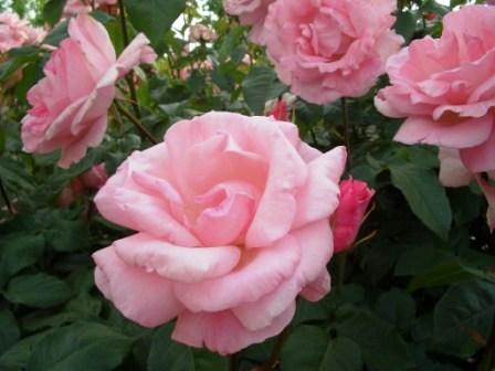 きれいなピンク