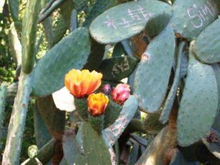 かわいいサボテンのお花