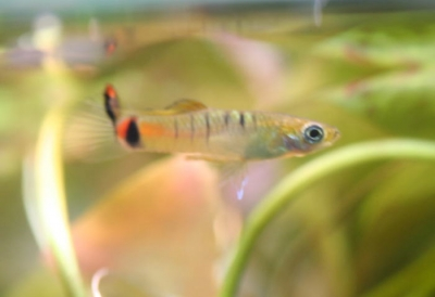 ブランネリィのオス成魚