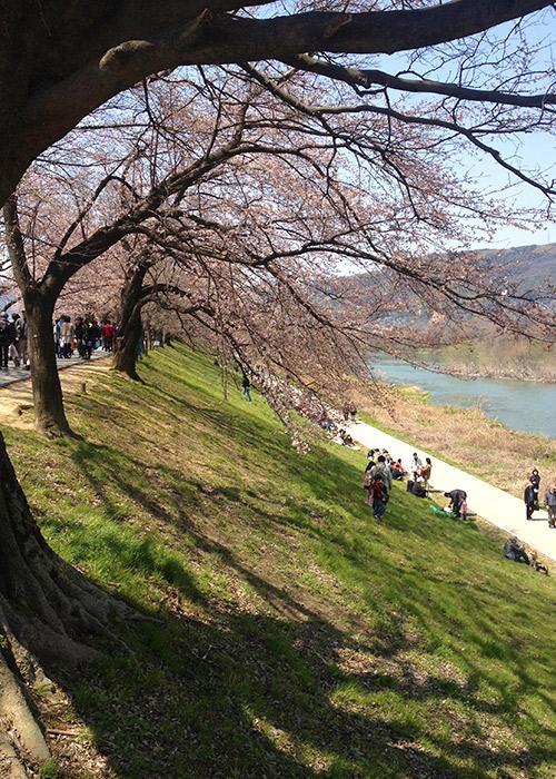 八幡 背割堤の桜
