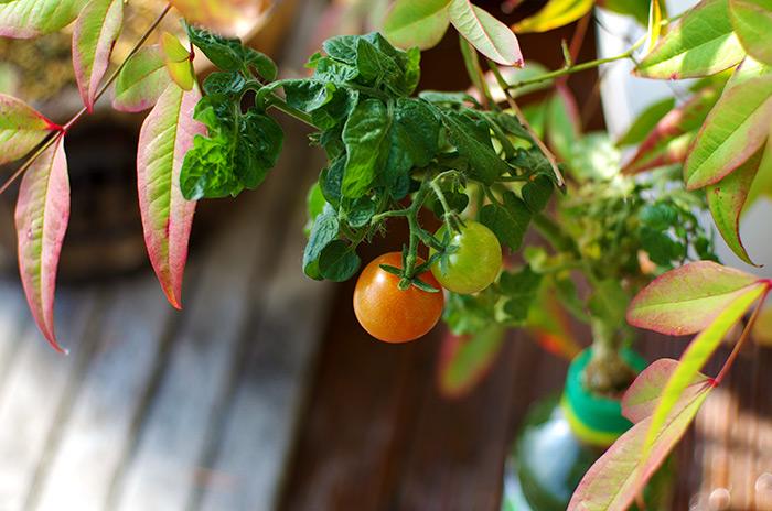 ペットボトル菜園 トマト