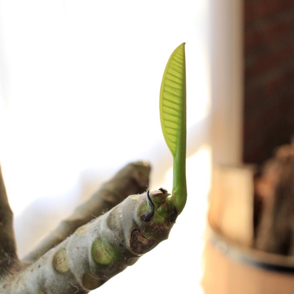 [ Foliage plant]冬のプルメリア