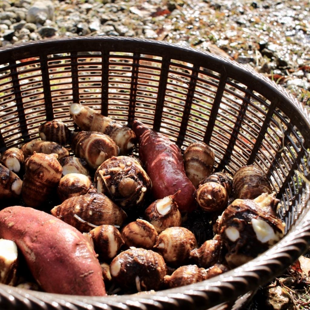 [Vegetable Garden]今年初の里芋掘り