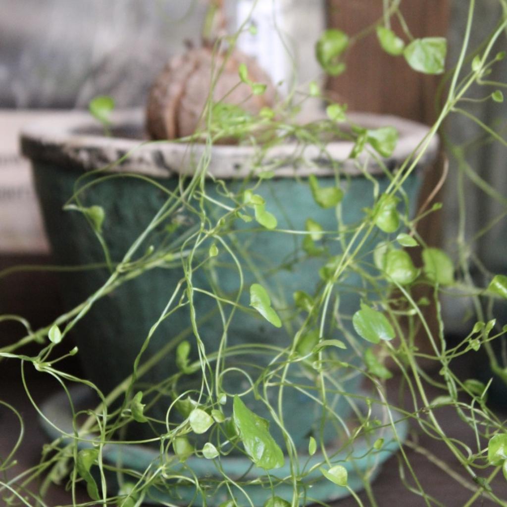 [ Foliage plant]亀甲竜復活