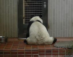 えさ待ちパンダ