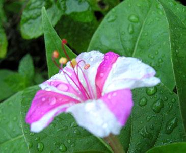 おしろい花その2
