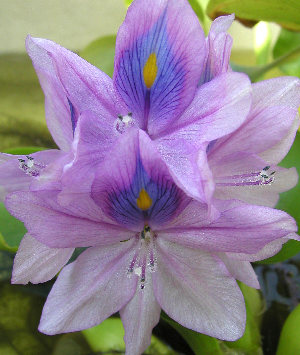 ホテイアオイの花です