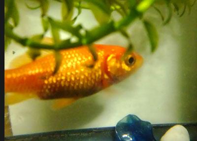 金魚っぴー