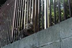 キジ猫さん1