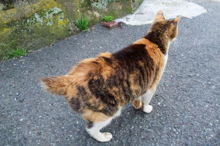 江ノ島第一島猫