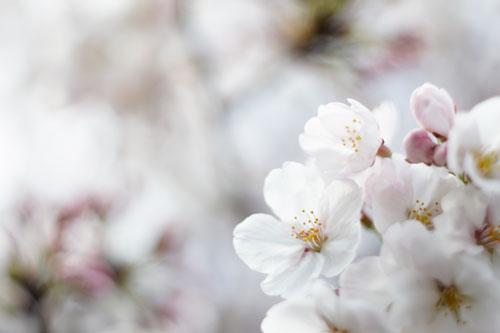 2012年の桜