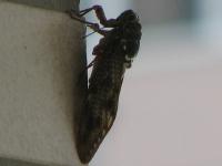 aarya 蝉