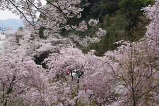 足羽山桜【ブログ用】.JPG