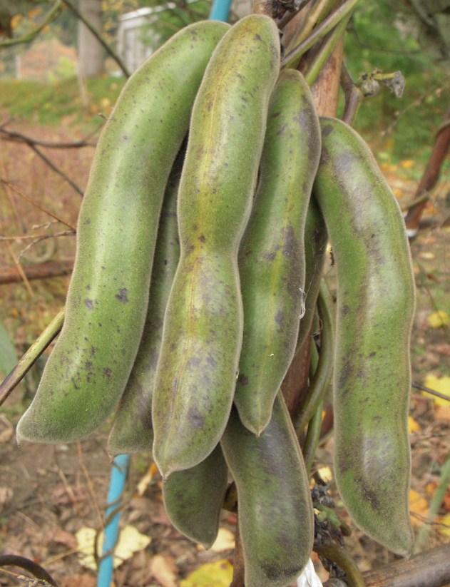 豆 ムクナ