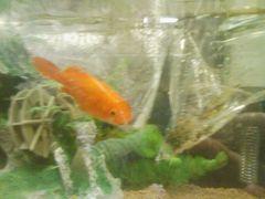 金魚引っ越し-2